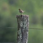 Savannah sparrow, Carroll County, VA